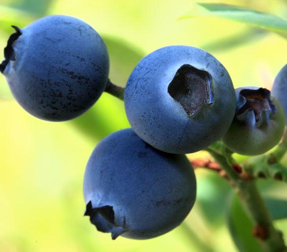 Az áfonyában található flavonoidok igen erős antioxidánsként működnek, elpusztítják a szabadgyököket.