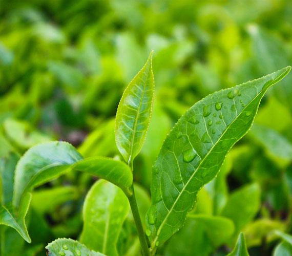 A zöld teában található polifenolok épen tartják a sejtfalakat, nem mellesleg a zöld teának zsírégető hatása is van.