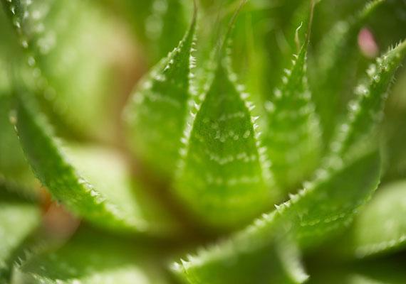 Szépülhetsz a nyáron aloe verával is: szemkörnyékápoló pakoláshoz is felhasználhatod, de a vízhiányos bőr hidratálására is. Ha egyszer megvetted a növényt, akkor mindig a rendelkezésedre ál a gélje, csak arra kell figyelned, hogy a levélbőrhöz közeli sárga részt ne használd.