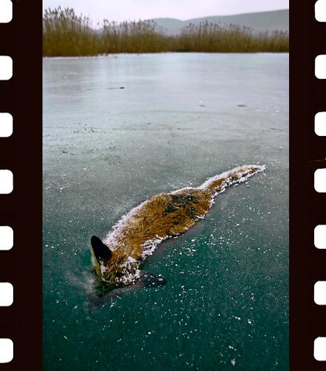 Németh Tamás: TavirókaEgy februári korcsolyázás során avatott zoológus ismerősöm vezetett a Balatonfüred melletti öbölbe - meséli Németh Tamás -, ahol rendszeresen pórul járnak a rókák. Ezúttal is ez történt: a vékony jég nem bírta a tavi lakomára éhes ravaszdit - vesztére...Az emlősök viselkedése kategória