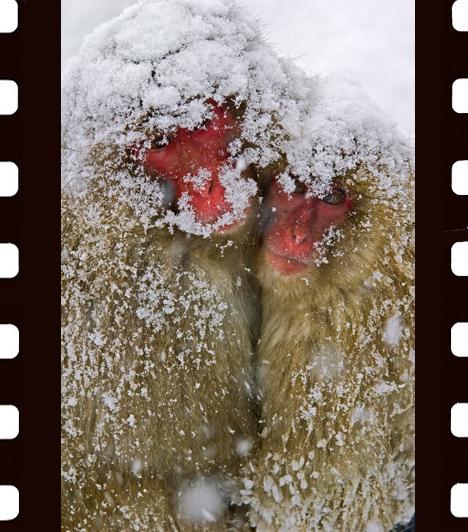 Zsolnai Péter: MelegedésA képet a fotós a japán Alpokban készítette azon a napon, amikor az év legnagyobb hóesése volt. Ahol letáboroztak, rövidesen egy csapat makákó tűnt fel. Szerencsém volt - meséli a fotós -, jó néhány képet sikerült készítenem, de legjobban ez a jelenet fogott meg.A Vadon Természetvédelmi Magazin különdíja, Az emlősök viselkedése kategória
