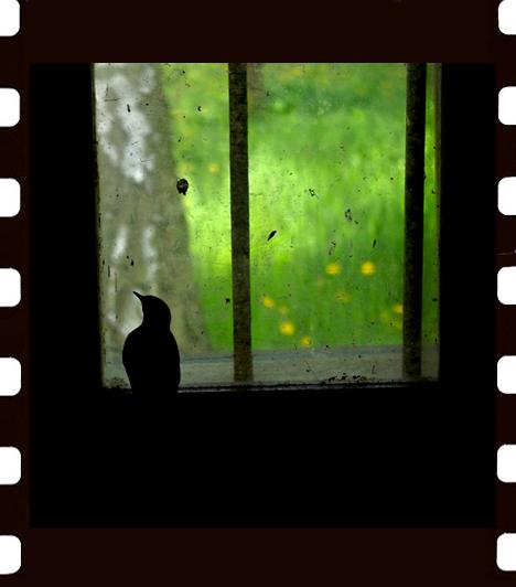 Ritzel Zoltán: FogságA ritkán látogatott tanyába beszökő házi rozsdafarkú vágyakozva nézi az üvegen túli világot. Természetesen a fotó után kitárult számára az ablak a szabadságra.Kapcsolódó cikk:Az év 15 legjobb fotója! »