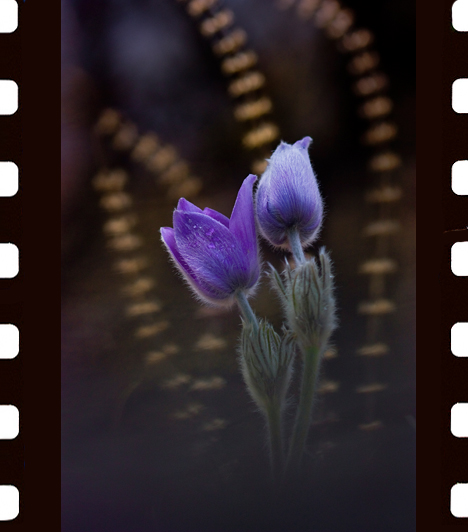 Tóth Zsuzsanna: KettenHazánk egyik legszebb kora tavaszi virága a boglárkafélék családjába tartozó, védett leánykökörcsin. A csodaszép, kékeslila virágot finom szőrök védik a hidegtől. A kép a Hármashatárhegyen készült 2009 tavaszán. Tóth Zsuzsanna a reggeli megvilágításban a háttérbe komponált tavalyi szárazgazzal igyekezett egyedivé tenni a képet.I. díj, Növények és gombák kategória