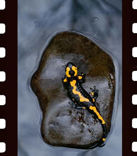 Darázs Zsolt: ModellA tisztább vizű hegyi patakok gyakori, ám meglehetősen ijedős lakója, a foltos szalamandra ritkán fotózható ilyen testtartásban - magyarázta Darázs Zsolt. - Az állvánnyal óvatosan fölébe kerülve vigyáznom kellett, nehogy megijesszem, és elmeneküljön, de szerencsémre ez a példány meglepően nyugodt modell volt.Az állatok viselkedése kategória