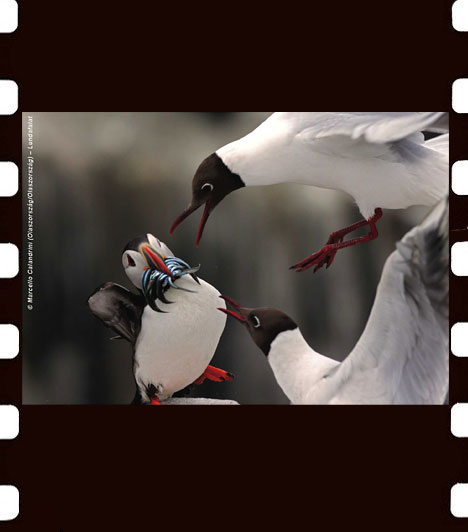 Marcello Calandrini: Lundafalat  Marcello Calandrini a természetfotók közül előnyben részesíti a madarak fényképezését. Ezen a képen egy falka dankasirály igyekszik a visszatérő lunda csőréből kilógó homoki angolnákat ellopni. A Lundafalat című kép Olaszországban készült.