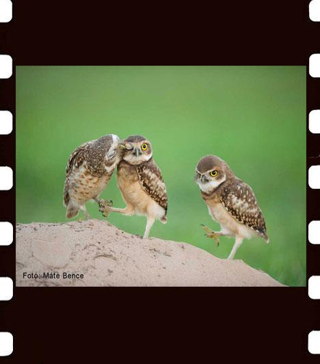 Máté Bence: Bagoly család  Az év természetfotósa szívesen tanulmányozza a szárnyasok mindennapjait, ezen a fotón a fiókák csupán három nappal korábban bújtak ki az odúból. A Bagoly család című kép A madarak viselkedése kategória első helyezettje lett.