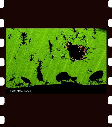 Máté Bence: A hangyák csodája  Máté Bence a levélnyíró hangyákat ábrázoló képével Az év természetfotósa címet nyerte el. A Magyar Természettudományi Múzeum Wildlife Photographer of theYear 2010 című kiállítása mellett az érdeklődők Máté Bence munkáiból összeállított Láthatatlanul című szatellitkiállítást is láthatják.