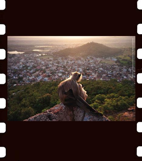 Olivier Puccia: Pillantás a naplementébe  Miután erdei otthonaikból az erdőirtás és az emberi terjeszkedés következtében kiűzték a közönséges hulmánokat, a majmok India sok részén a városi élet tagjai lettek. A helyiek a majomtestű Hanuman istenség reinkarnációjaként tisztelik őket.