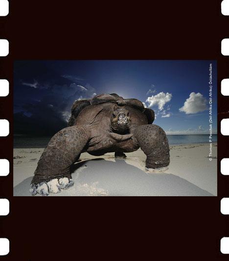 Thomas P. Peschak: Óriáshullám  Peschak a National Geographic és a Save our Seas elnevezésű alapítvány vezető fotósa, és neves tengerbiológus. Életét a tengerek védelme céljából történő fotózásának szenteli. Az Óriáshullám című képe Seychelle-szigeteken készült egy körülbelül százéves nőstény teknősről.