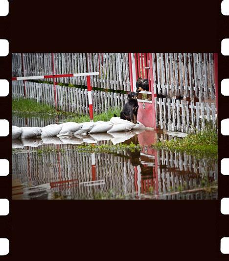 Németh András Péter: Állatok katasztrófájaA nyári árvizek Észak-Magyarországon nem csupán több száz családot tettek otthontalanná, állatok ezreinek életét is felforgatták. A Devecsert és Kolontárt elárasztó erősen maró hatású vörösiszap tíz ember halálát követelte, és megszámlálhatatlanul sok állatot kínzott meg és pusztított el. A kép Természet és tudomány - sorozat - kategóriában második helyezést ért el.