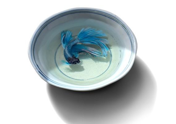 Megtévesztő kék hal.