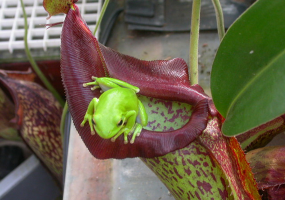 Egy ilyen méretű húsevő növénynek nem okoz gondot, hogy egy egeret vagy kisebb békát bekebelezzen.