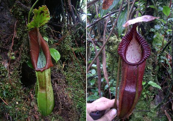 A húsevő növények családja igen kiterjedt, tagjai többféle színben és méretben megtalálhatók a természetben.