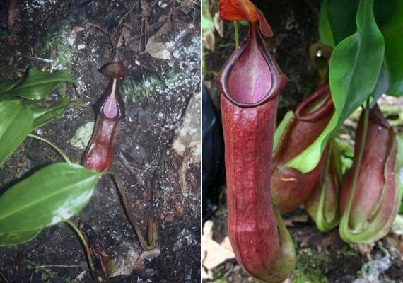 A bal oldali képen az eredeti Nepenthes spathulata, más néven Nepenthes adrianii, amit Adrian Yusuf 2004-ben felfedezett.