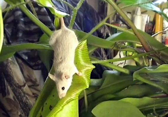 A mit sem sejtő egér kíváncsian szaglássza a Nepenthes spathulatát.