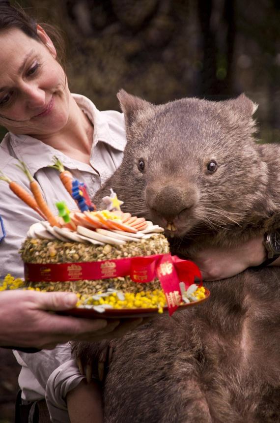 Patrick, a világ nemcsak legöregebb, de legnagyobb testű vombatja idén tölti be a 31. életévét. A gigantikus erszényes Ausztráliában él a Victorian Wildlife Parkban, és annyira népszerű, hogy külön Facebook-oldala is van, több mint 50ezer rajongóval. Akik ismerik Patrickot, azt mondják, hogy igazi úriember, és nagyon kedves a park látogatóival is.