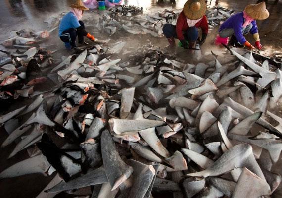 Munkások válogatják a fagyasztott cápauszonyt egy tajvani piacon. Értékes uszonyuk miatt évente több mint 73 millió halat pusztítanak el.
