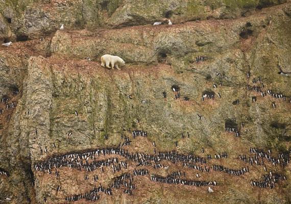 Egy fiatal hím jegesmedve mászik a tengerparti sziklán Oroszországban, élelem után kutatva.