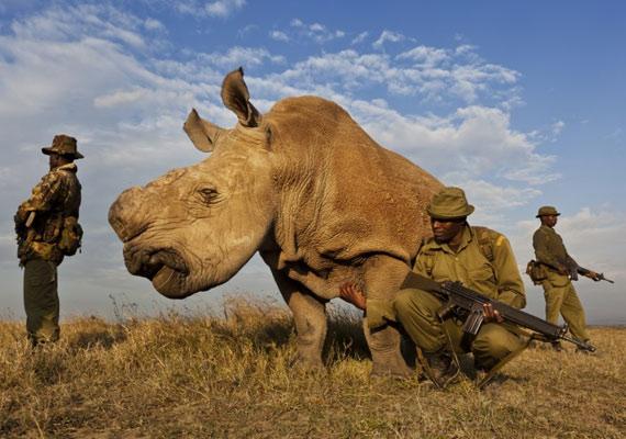 Dél-Afrikában úgy próbálják megvédeni a rinocéroszokat az orvvadászoktól, hogy műtéti úton eltávolítják a szarvukat, így a vadászok szemében értéktelenné válnak.