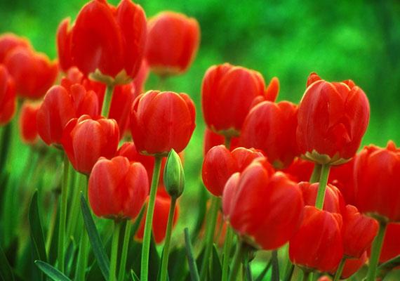 A piros tulipánok a tavasz legszebbjei - itt töltheted le őket.