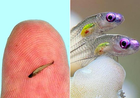 A Paedocypris progenetica mindössze nyolc milliméter hosszú, ezzel nemcsak a világ legapróbb hala, de a Föld legkisebb gerincese is.