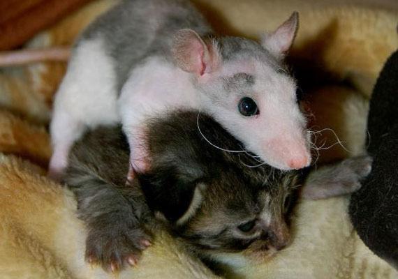 Mr. Peeblesnek, a világ hivatalosan is legkisebb macskájának néha gazdája háziegerével is meggyűlik a baja.