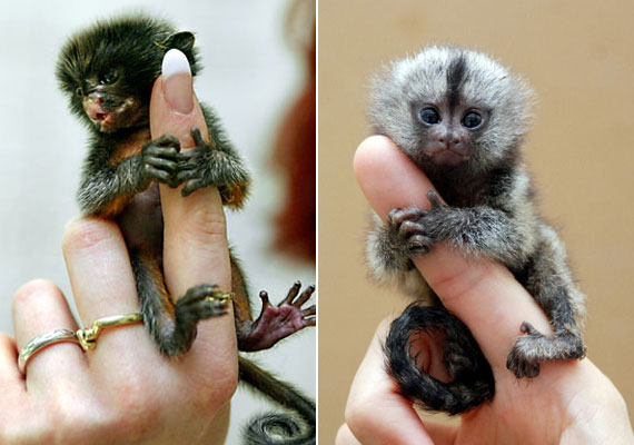 A Pygmy marmoset Brazília őserdeiben él, és a világ legapróbb majomfajtája.