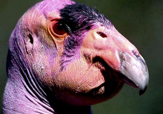 A dögevő kaliforniai kondor az Amerikai Egyesült Államok nyugati partvidékén él, és a kihalás szélén áll.