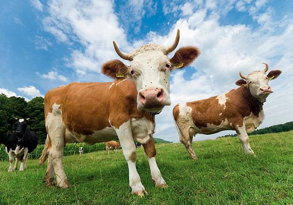 A trágyát egyre többféleképpen hasznosítják: gazdagabbá teszi a termőtalajt, és biogázt is készítenek belőle. De ehhez előbb valakinek össze kell szednie.