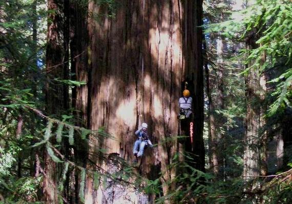 Szintén egy Redwood Creek-i örökzöld mamutfenyő áll a második helyen: aHelios 114,58 méterméter magas, átmérője 4,96 méter.