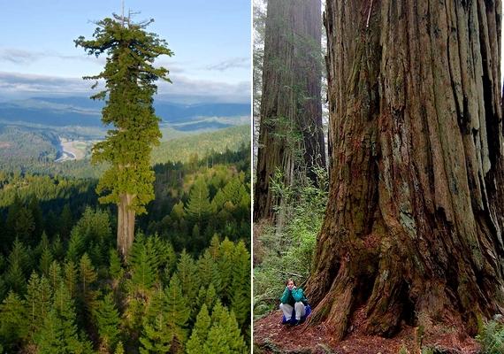 A világ jelenlegi legmagasabb fájaként számon tartott Hyperion elnevezésű örökzöld mamutfenyőt Chris Atkins és Michael Taylor fedezte fel 2006. szeptember 8-án, a kaliforniai Redwood Creek területének egyik eldugott részén. A fa115,61 méter magas,átmérője 4,84 méter.