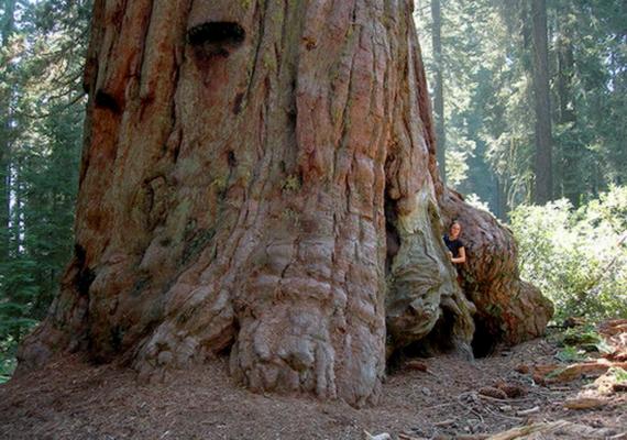 A világ első három legnagyobb fája az örökzöld mamutfenyők közül való, ráadásul ugyanabban a térségben él. A harmadik helyen az Icarus áll, a maga113,14 méteres magasságával és 3,78 méteres átmérőjével.