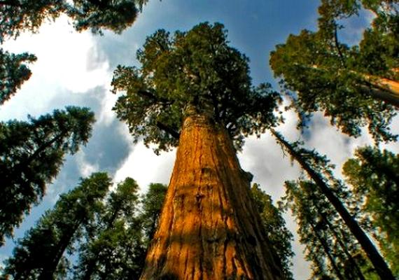 A dobogós fákhoz hasonlóan Redwood Creekben él a 112,71 méter magas és 4,39 méter átmérőjű National Geographic Society nevű örökzöld mamutfenyő.