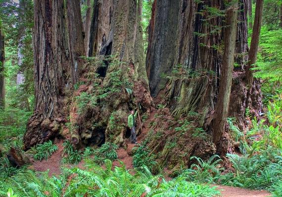 Újabb példány következik a kaliforniai Redwood lakói közül: a hatodik helyen az Orion végzett a maga112,63 méternyi magasságával és4,33 méternyi átmérőjével.