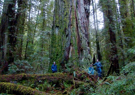 Sztratoszféra-óriás néven vált híressé a kaliforniaiRockefeller-erdő egyik tagja, mely fajtáját tekintve szinténörökzöld mamutfenyő. Magassága113,11 méter, átmérője 5,18 méter.