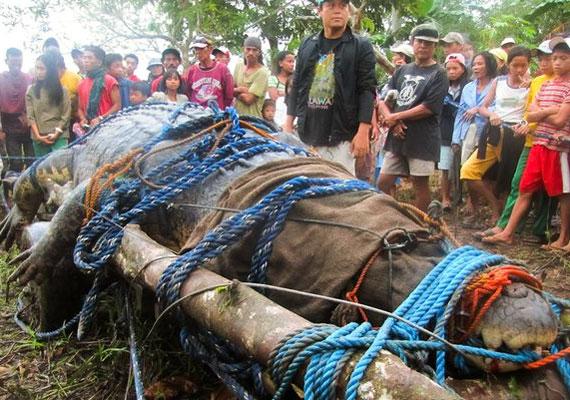 A hatalmas hüllőt három héten át tartó vadászat után fogták el a helyiek.