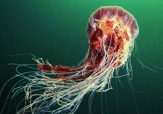 A Cyanea capillata, magyarul szakállas medúza a legnagyobb méretűre megnövő medúzafajta.
