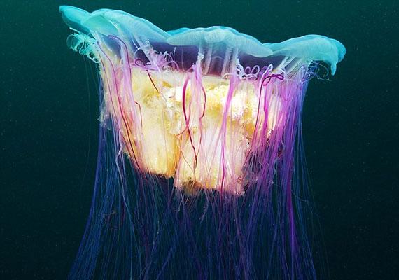 A nagyobb példányok fénye lilás, míg a fiatalabb egyedeket haloványabb, narancsos glória lengi körbe.
