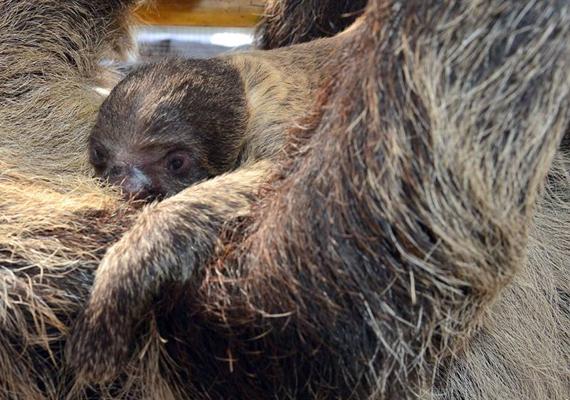 Ahogyan a Fővárosi Állat- és Növénykert örömmel beszámolt róla, az elmúlt hónapokban két lajhár is született: decemberben Banya, legutóbb pedig Lili hozta világra kicsinyét. A legújabb jövevényt, Lili utódját láthatod a képen.