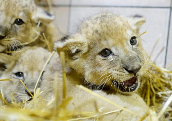 Afrikaioroszlán-kölykök a Gyöngyösi Állatkertben. Ketten nőstények, egyikük pedig hím, és a múlt hónapban, január 12-én érkeztek a világra.