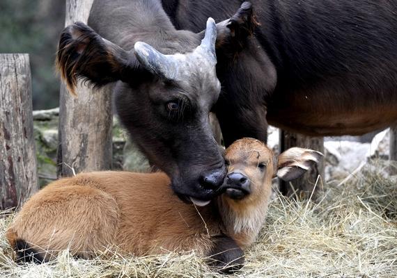 A vörös vadbivaly borjú anyjával a Fővárosi Állat- és Növénykert kifutójában 2014. február 21-én. A január 23-án született állat gondozóitól a Tejbegríz nevet kapta.