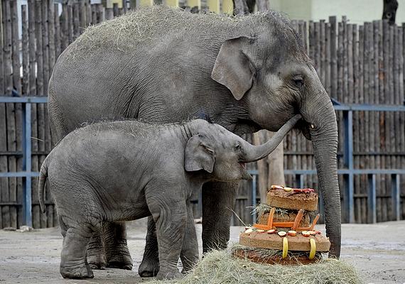Tortával köszöntötték első születésnapján a Fővárosi Állat- és Növénykert Asha nevű elefántborját 2014. február 14-én.