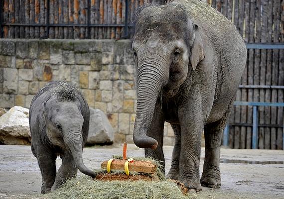 A kiselefánt az állatkert egyik legnépszerűbb lakója, még saját Facebook-oldala is van.