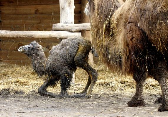 Látogatók és állatkertészek jelenlétében egy egészséges tevecsikó látta meg a napvilágot március 5-én a Kittenberger Kálmán Növény- és Vadasparkban.