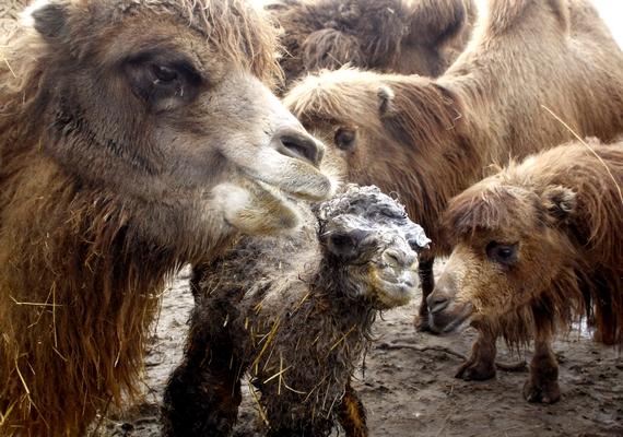 A vadaspark tevéi a kifutójukban ismerkedtek az újszülöttel.