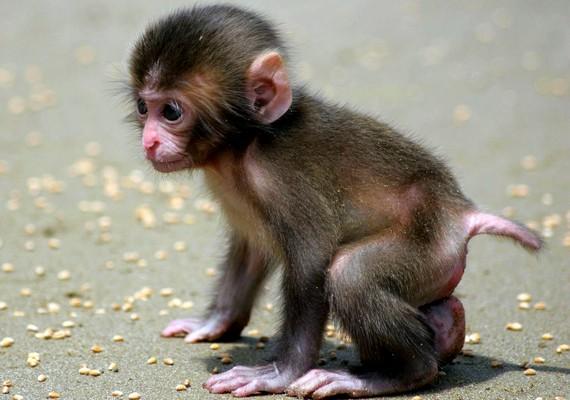Mini majom.Kattints ide a nagyobb felbontású képért! »