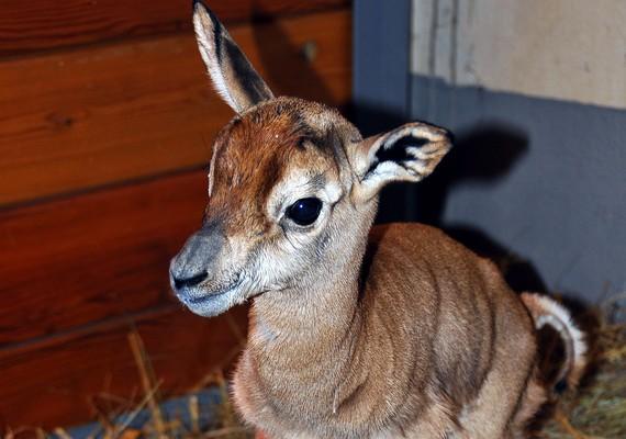 Január végén ritka állat született a Fővárosi Állat- és Növénykertben. A kisMhorr-gazella az Ebo nevet kapta.
