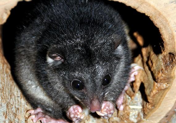 A Fővárosi Állat- és Növénykertben 2012 vége felé született egy apró erszényes állatka. A kis kuszkusz február közepe felé hagyta el az erszényt.