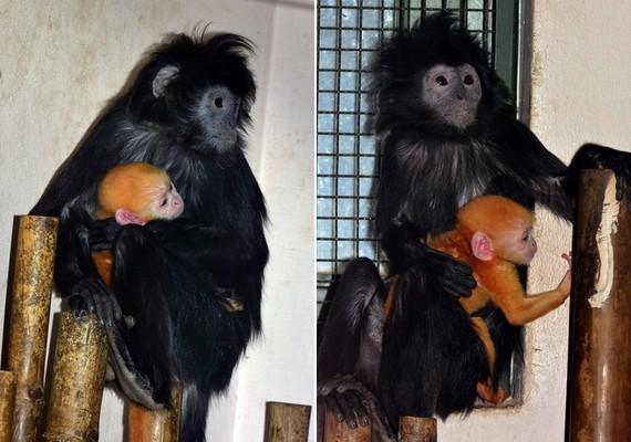 Jávai langurkölyök született április elején a Fővárosi Állat- és Növénykertben. Magyarországon csak itt látható ez a faj.