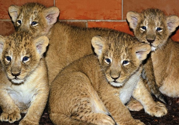 Február 15-én ugyanitt ritka ázsiai oroszlánkölykök születtek, de erre csak március végén derült fény. A kicsik négyen vannak.